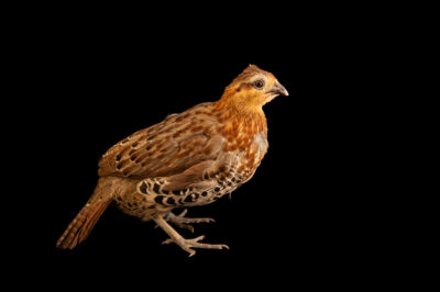 Photo: A female mountain bamboo partridge (Bambusicola fytchii) from a private collection.