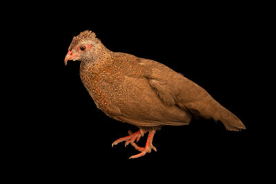 Photo: A African stone partridge (Ptilopachus petrosus) from a private collection.