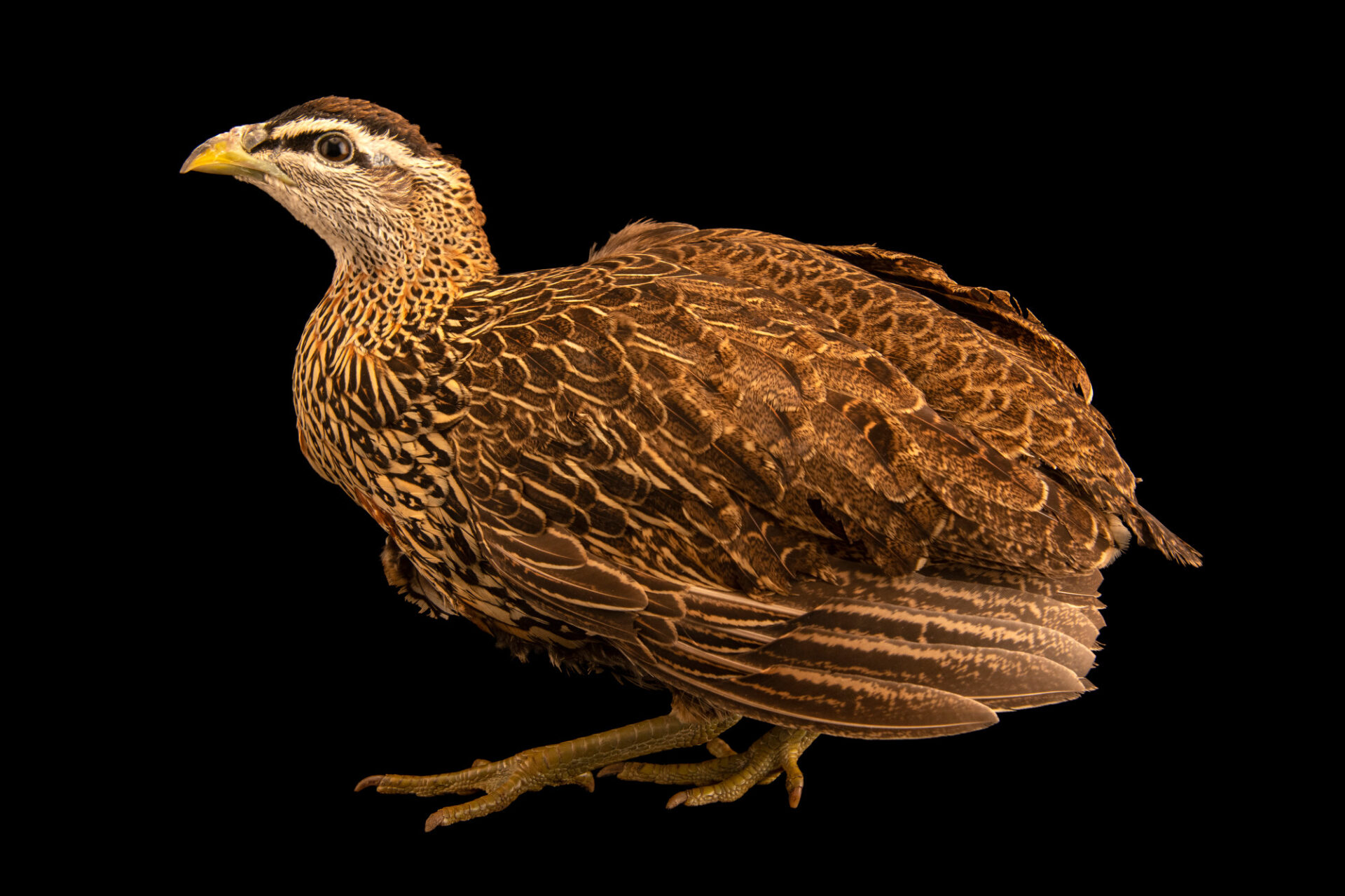Photo: A female double-spurred francolin (Pternistis bicalcaratus) from a private collection.