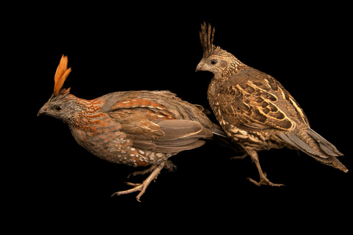Photo: A pair of elegant quail (Callipepla douglasii) from a private collection.