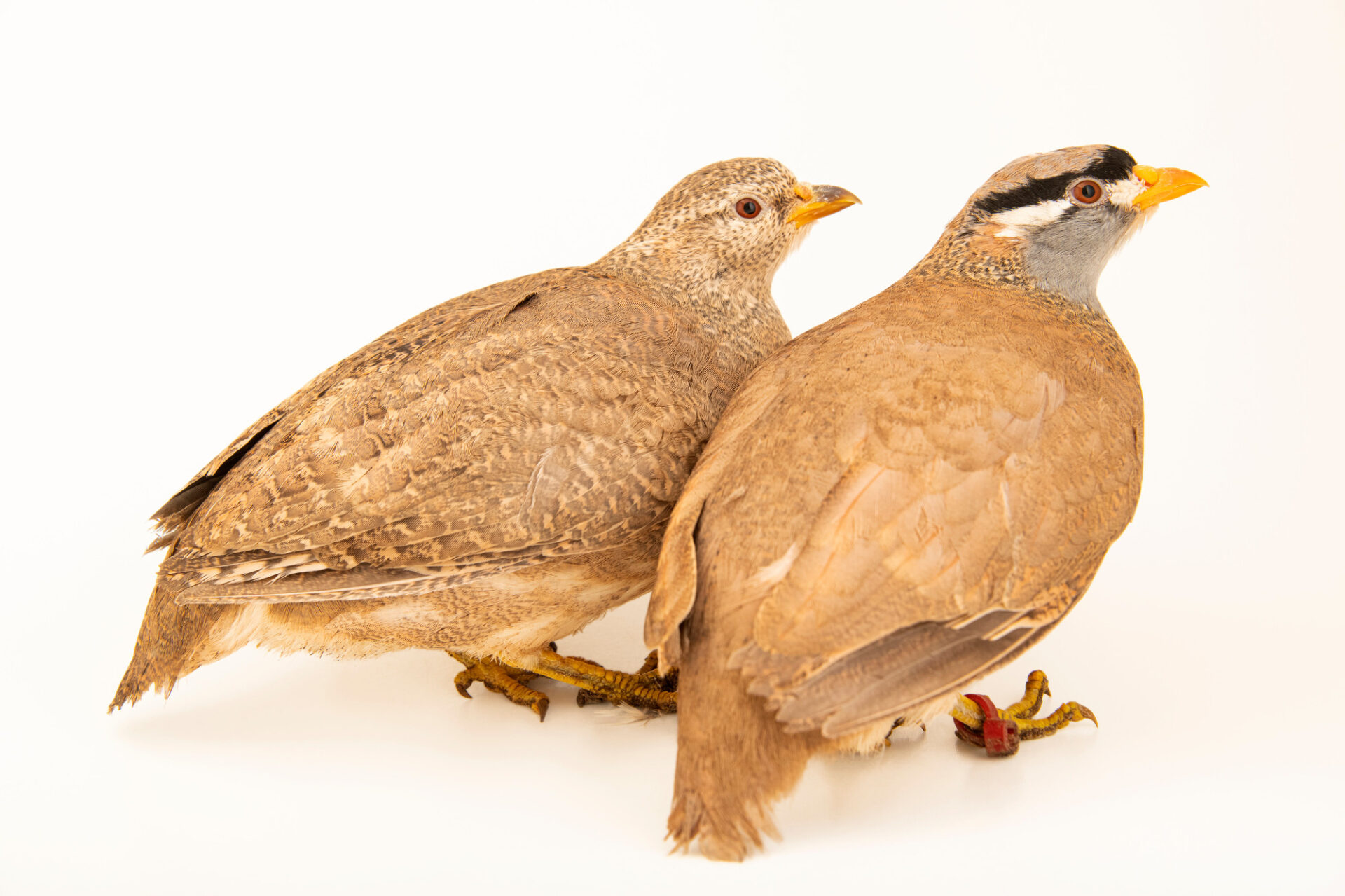 Photo: A pair of see-see partridges (Ammoperdix griseogularis) from a private collection.