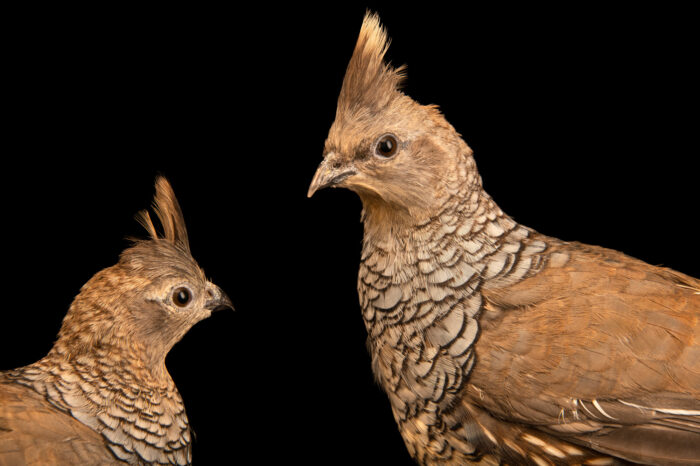 Photo: A pair of chestnut-bellied blue scale quail (Callipepla squamata castanogastris) from a private collection.