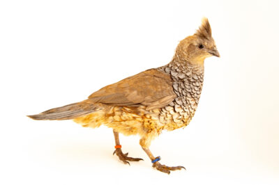 Photo: A male chestnut-bellied blue scale quail (Callipepla squamata castanogastris) from a private collection.