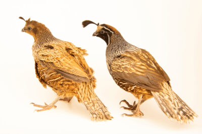 Photo: A pair of California Valley quail (Callipepla californica californica) from a private collection.