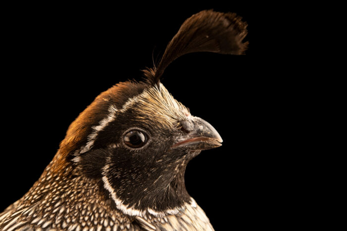 Photo: A male California Valley quail (Callipepla californica californica) from a private collection.