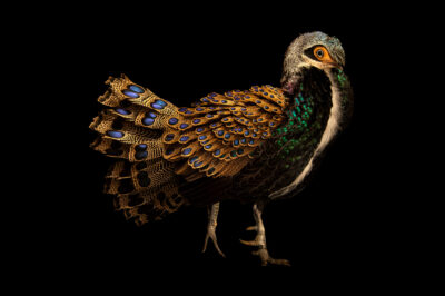 Photo: An endangered male Bornean peacock-pheasant (Polyplectron schleiermacheri) at a private collection in Somerset County, England.