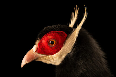 Photo: A male brown eared pheasant (Crossoptilon mantchuricum) in Somerset County, England.