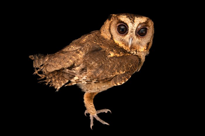 Photo: A Collared Scops Owl (Otus lettia) at Angkor Centre for Conservation of Biodiversity (ACCB) in Cambodia.