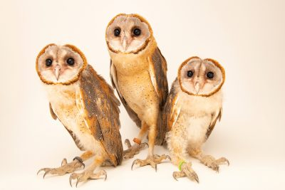 Three Eastern Grass Owls (Tyto longimembris chinensis) at Angkor Centre for Conservation of Biodiversity (ACCB) in Cambodia.