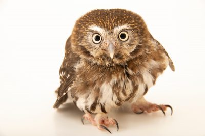 Photo: A cactus ferruginous pygmy owl (Glaucidium brasilianum cactorum) at Wild at Heart raptor rehabilitation center.