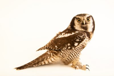 Photo: Eurasian hawk owl (Surnia ulula ulula) at Wroclaw Zoo.