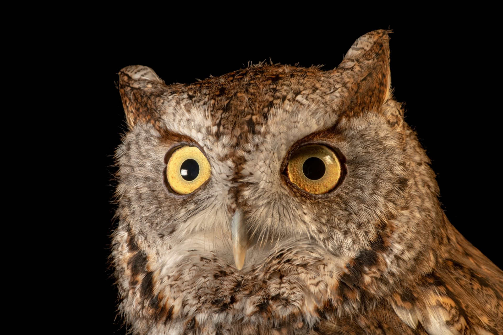 Photo: Eastern screech owl (Megascops asio asio) at the Nashville Zoo.