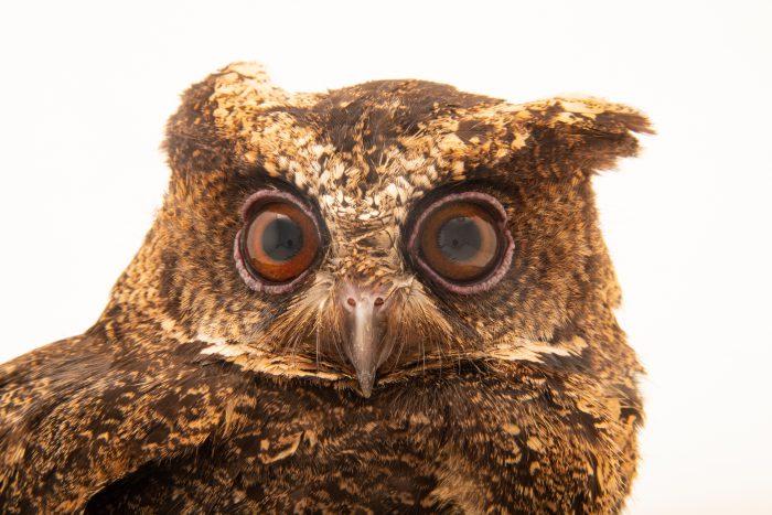 Photo: A Everett's scops owl (Otus everetti) at the Philippine Eagle Center.