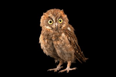 Photo: Mindanao highland scops owl (Otus mirus) at Crocolandia in the Philippines.