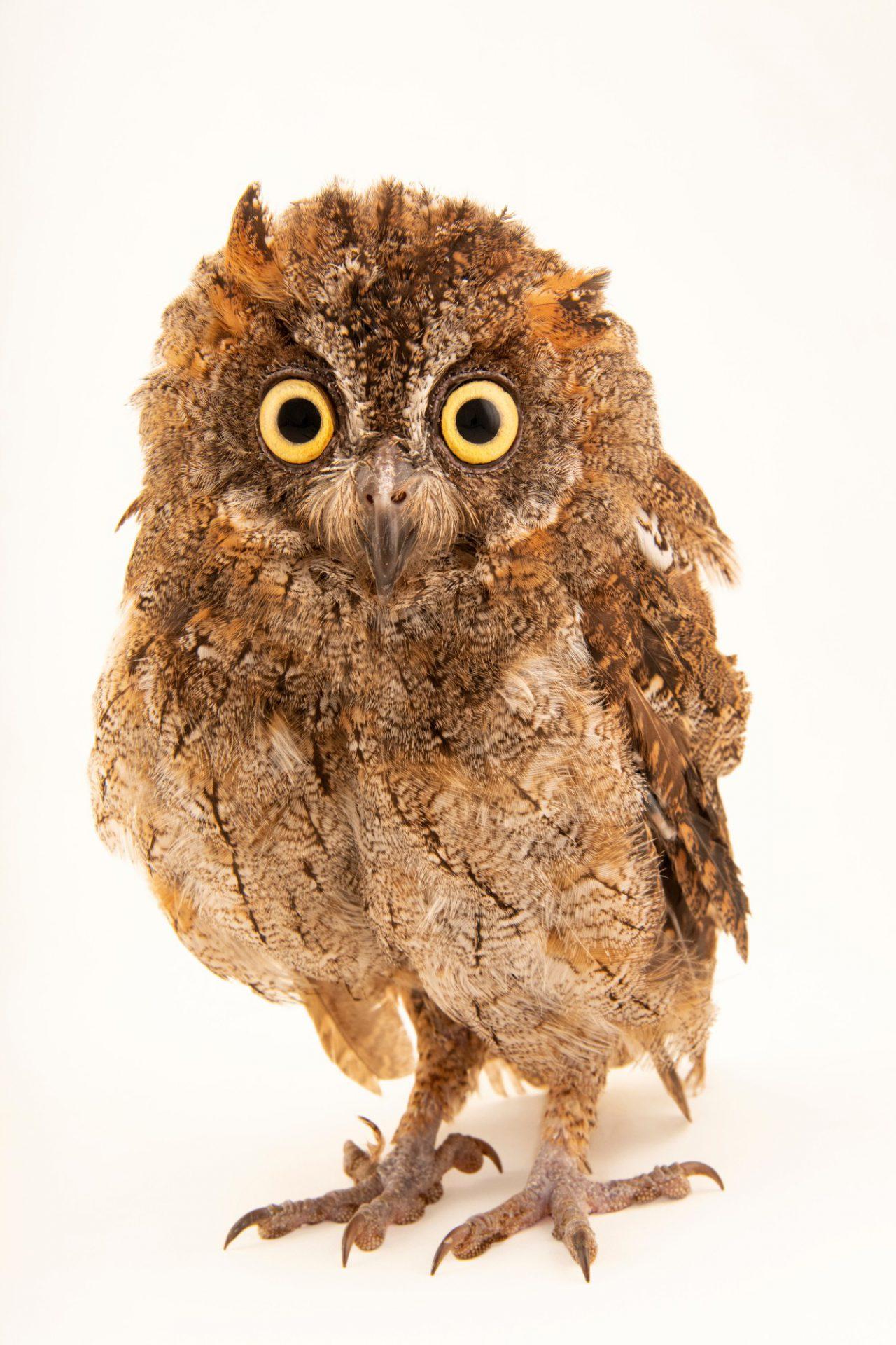 Photo: Mindanao highland scops owl (Otus mirus) at Crocolandia in the Philippines.