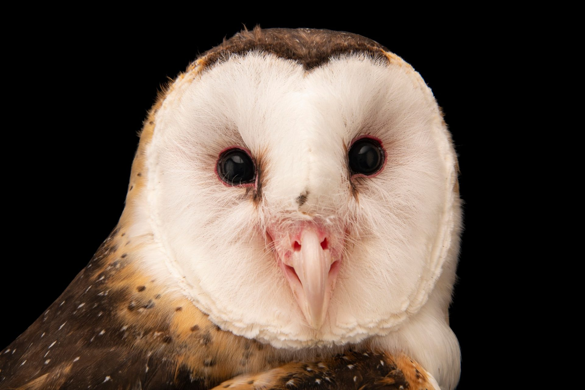 Photo: An Eastern grass owl (Tyto longimembris amauronota) at the Avilon Zoo.