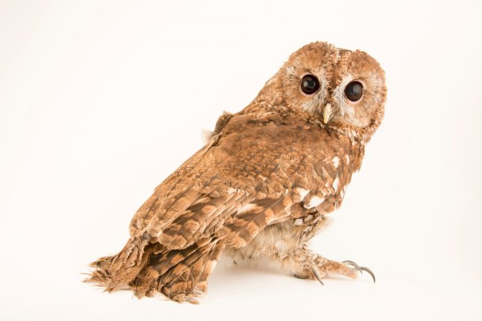 Photo: A tawny owl (Strix aluco sylvatica) at the Wildlife Rescue Center of Rome (LIPU).