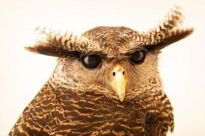 Photo: A Sumatran eagle-owl (Bubo sumatranus strepitans) at Taman Mini Indonesia Indah.