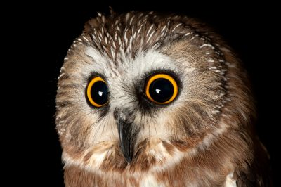 Photo: A saw-whet owl (Aegolius acadicus) at the Denver zoo.