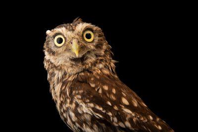 Photo: A little owl (Athene noctua vidalii) at Parque Biologico.
