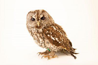 Photo: A tawny owl (Strix aluco aluco) at Parque Biologico.