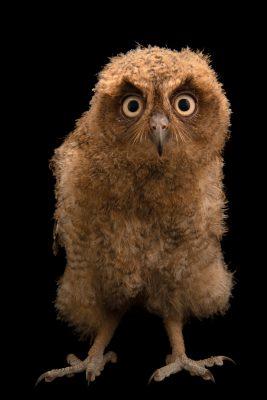 Photo: A juvenile Mentanani scops owl (Otus mantananensis rombloni) on Semirara Island in the Philippines.