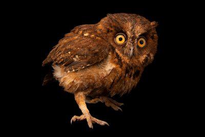 Photo: A Mentanani scops owl (Otus mantananensis rombloni) on Semirara Island in the Philippines.