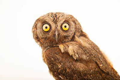 Iberian scops owl (Otus scops mallorca) at Parque Biologico in Vila Nova de Gaia, Porto, Portugal.