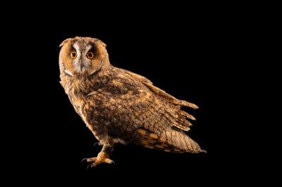 Photo: A long-eared owl (Asio otus otus) at Wildwood Trust near Canterbury, England.