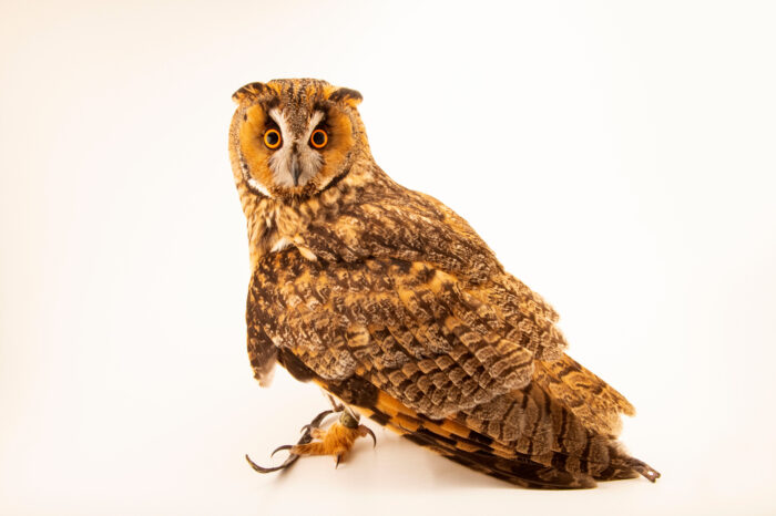 Photo: A long-eared owl (Asio otus otus) at Wildwood Trust near Canterbury, England.