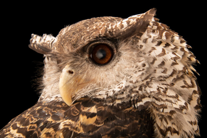 Photo: A spot-bellied eagle owl (Bubo nipalensis blighi) at Tierpark Berlin.