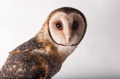 Photo: An Australian masked owl (Tyto novaehollandiae), from a Private Collection in Australia.