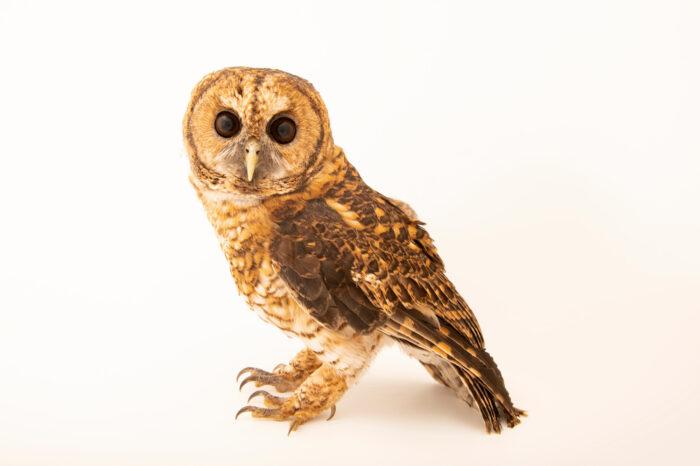 Photo: A rusty-barred owl, Strix hylophila, at Tierpark Berlin.