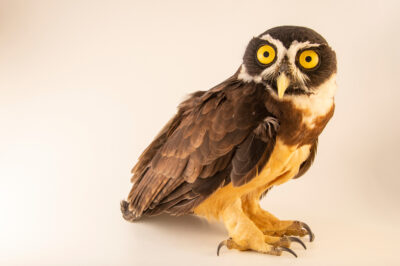 Photo: A spectacled owl (Pulsatrix perspicillata perspicillata) at Cetas-IBAMA, a wildlife rehab center in Manaus, Brazil.
