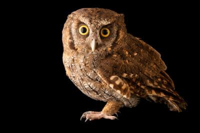 Photo: A tropical screech owl (Megascops choliba decussatus) at Cetas-IBAMA, a wildlife rehab center in Manaus, Brazil.
