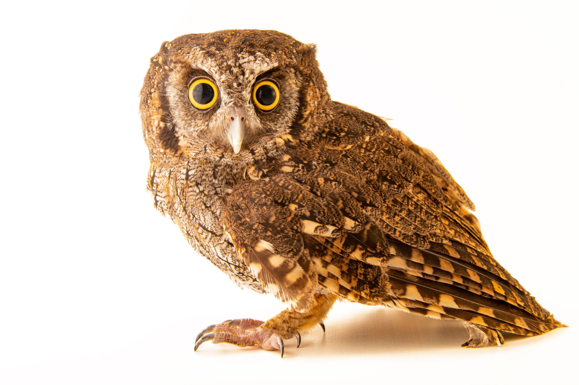 Photo: A tropical screech owl (Megascops choliba decussatus) at Cetas-IBAMA, a wildlife rehab center in Manaus, Brazil.