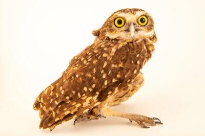 Photo: A burrowing owl (Athene cunicularia grallaria) at Mantenedor da Fauna Silvestre Cariuá.