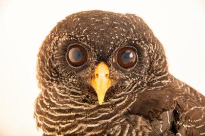Photo: A black-banded owl (Ciccaba huhula huhula) at Mantenedor da Fauna Silvestre Cariuá.