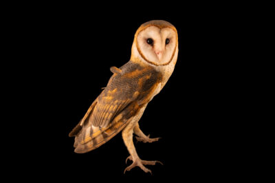 Photo: A South American barn owl (Tyto alba tuidara) at Fundacao Jardim Zoologico de Brasilia.