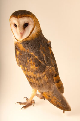Photo: A South American barn owl (Tyto alba tuidara) at Fundacao Jardim Zoologico de Brasilia.