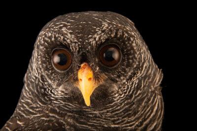 Photo: A black-banded owl (Ciccaba huhula albomarginata) at Fundacao Jardim Zoologico de Brasilia.