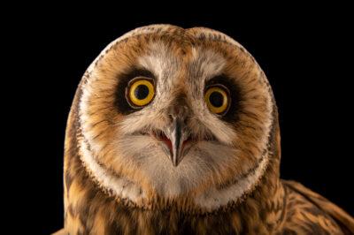 Photo: A short-eared owl (Asio flammeus suinda) at Fundacao Jardim Zoologico de Brasilia.