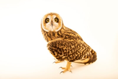 Photo: A short-eared owl (Asio flammeus suinda) at Fundacao Jardim Zoologico de Brasilia.