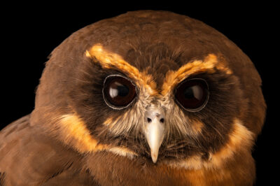 Photo: A tawny-browed owl (Pulsatrix koeniswaldiana) at BioParque do Rio.