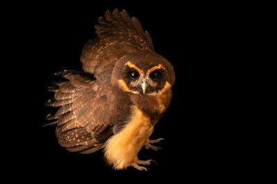 Photo: A tawny-browed owl (Pulsatrix koeniswaldiana) at BioParque do Rio.