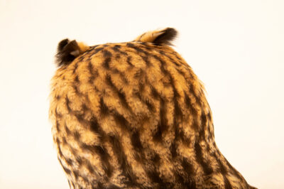 Photo: A striped owl (Asio clamator midas) at BioParque do Rio.