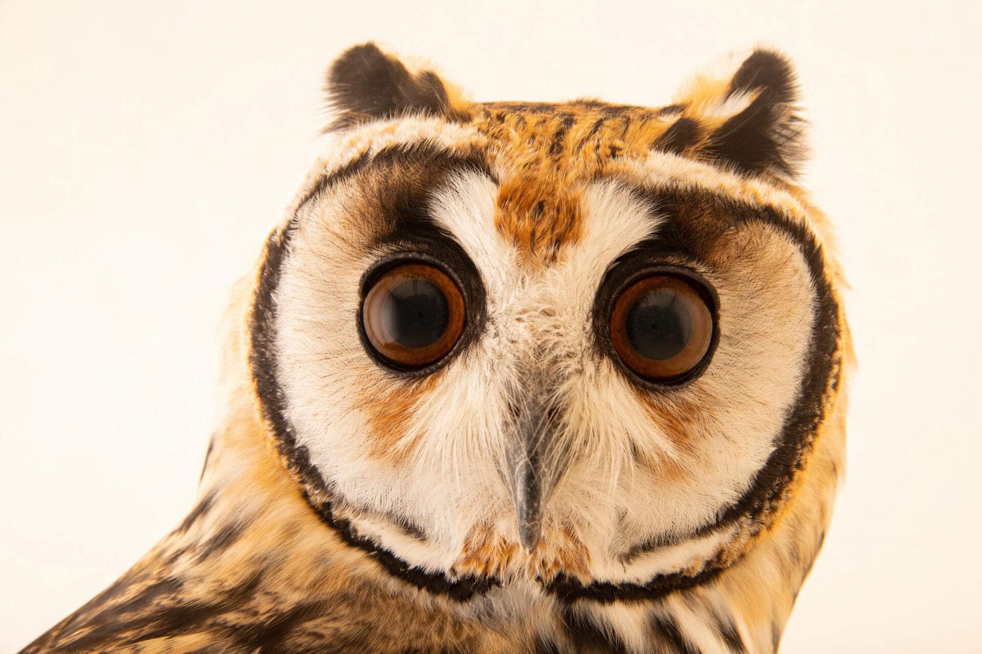 Photo: A striped owl (Asio clamator midas) at BioParque do Rio.