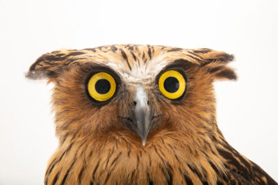 Photo: A buffy fish owl (Ketupa ketupu aagaardi) at the Prague Zoo.