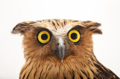 Photo: A buffy fish owl (Ketupa ketupu aagaardi) at the Prague Zoo.
