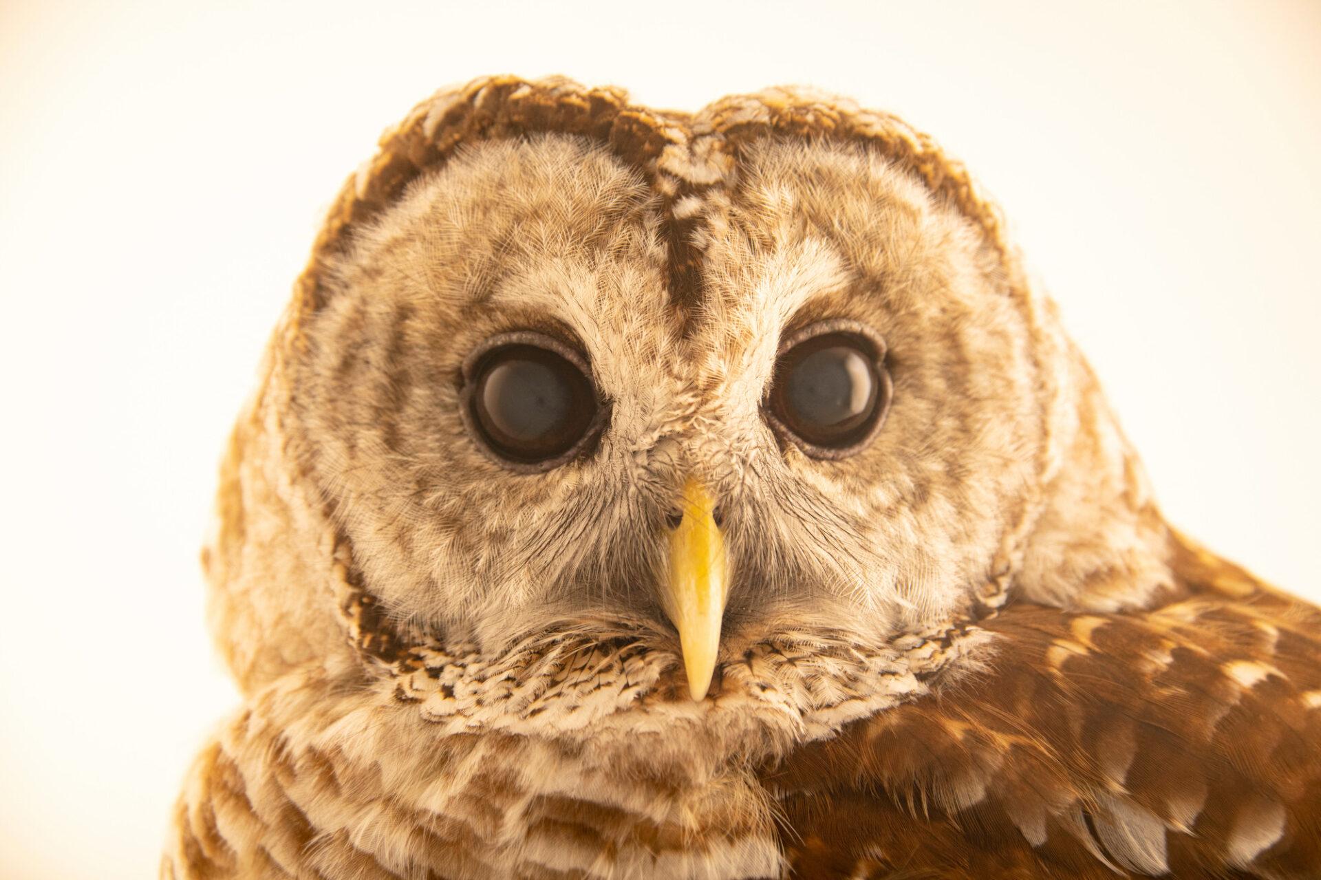 Photo: A Florida barred owl (Strix varia georgica) at the Jacksonville Zoo and Gardens, Jacksonville, Florida.